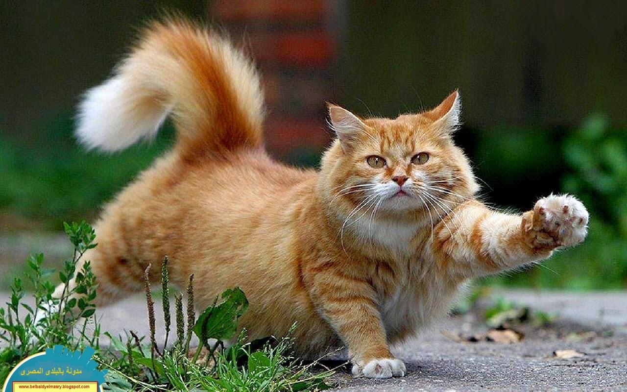 حمل وشاهد اجمل 50 خلفيه وصوره فائقة الجوده لاجمل انواع القطط بحجم 61 ميجا بايت رابط مباشر
