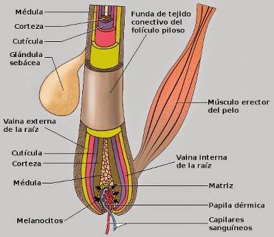 El rincón de la pecosa el pelo el folÍculo piloso jpg 400x345 Imagenes de  las partes d0bcaa260a1a