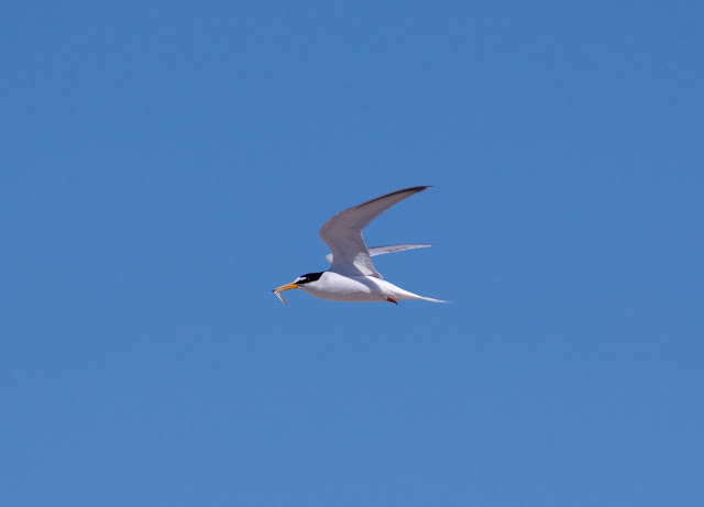 Little Tern - Gronant, North Wales