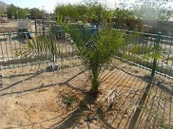 la Phoenix dactylifera, o palma datilera de Judea fue una de las especies más abundantes