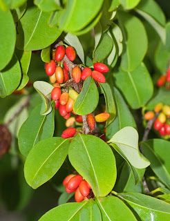 but the tea and coffee plants are far from being the only ones used for energizing drinks in the theaceae family alone there are a few species that are