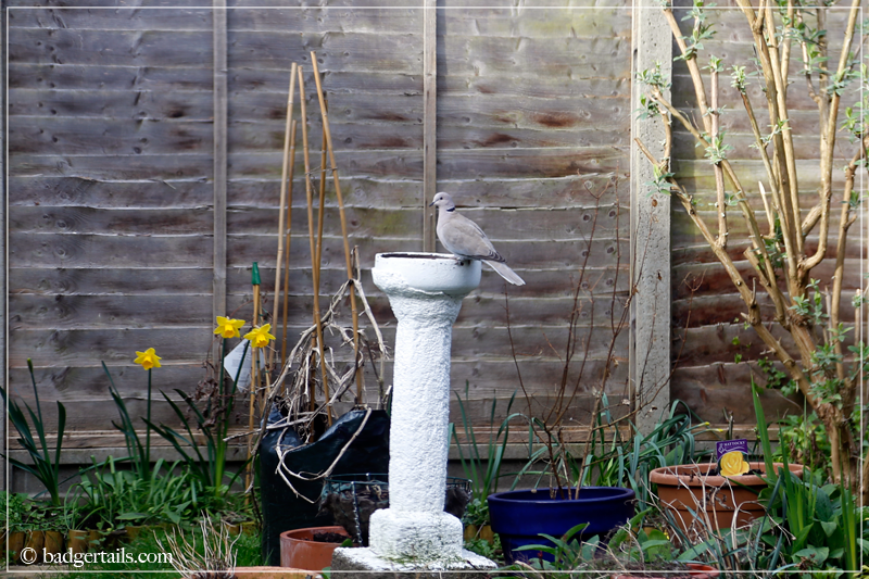 Collared dove sitting atop bird bath