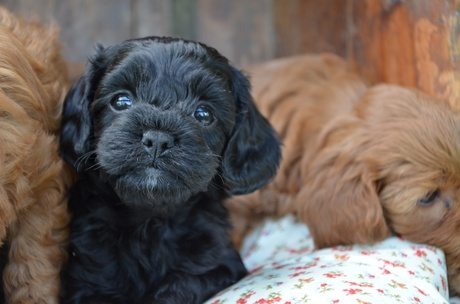 Small Dog Puppies For Sale Brisbane