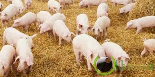 Urin babi untuk bahan plastik
