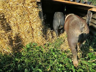 Billy & Willy in de nieuwe stro-hut