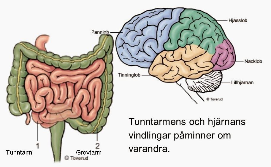 tarmen och hjärnan