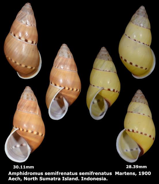 Amphidromus semifrenatus semifrenatus 28.39 & 30.11mm