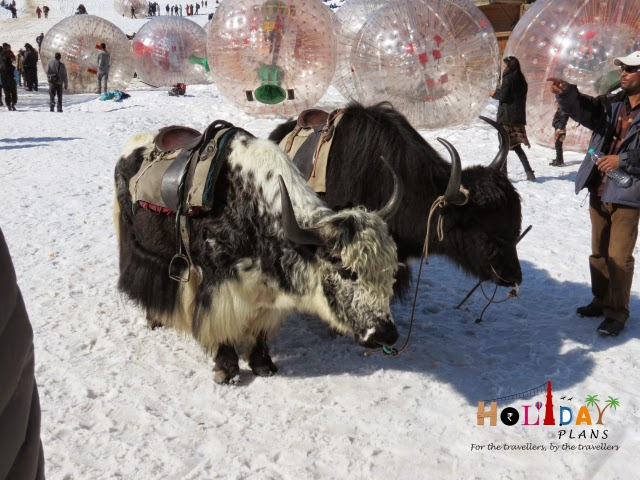 Yaks at Solang Valley