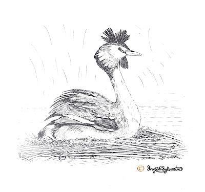 North East artist Ingrid Sylvestre Wildlife illustration in fine line for interpretive panel Joe's Pond Durham Wildlife Trust