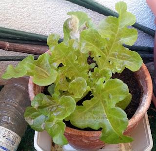 Cette salade à l'écart de ses soeurs, l'est dans le but de la faire monter, obtenir des fleurs et donc des graines. Ce en vue de replanter de nouvelles salades avec!