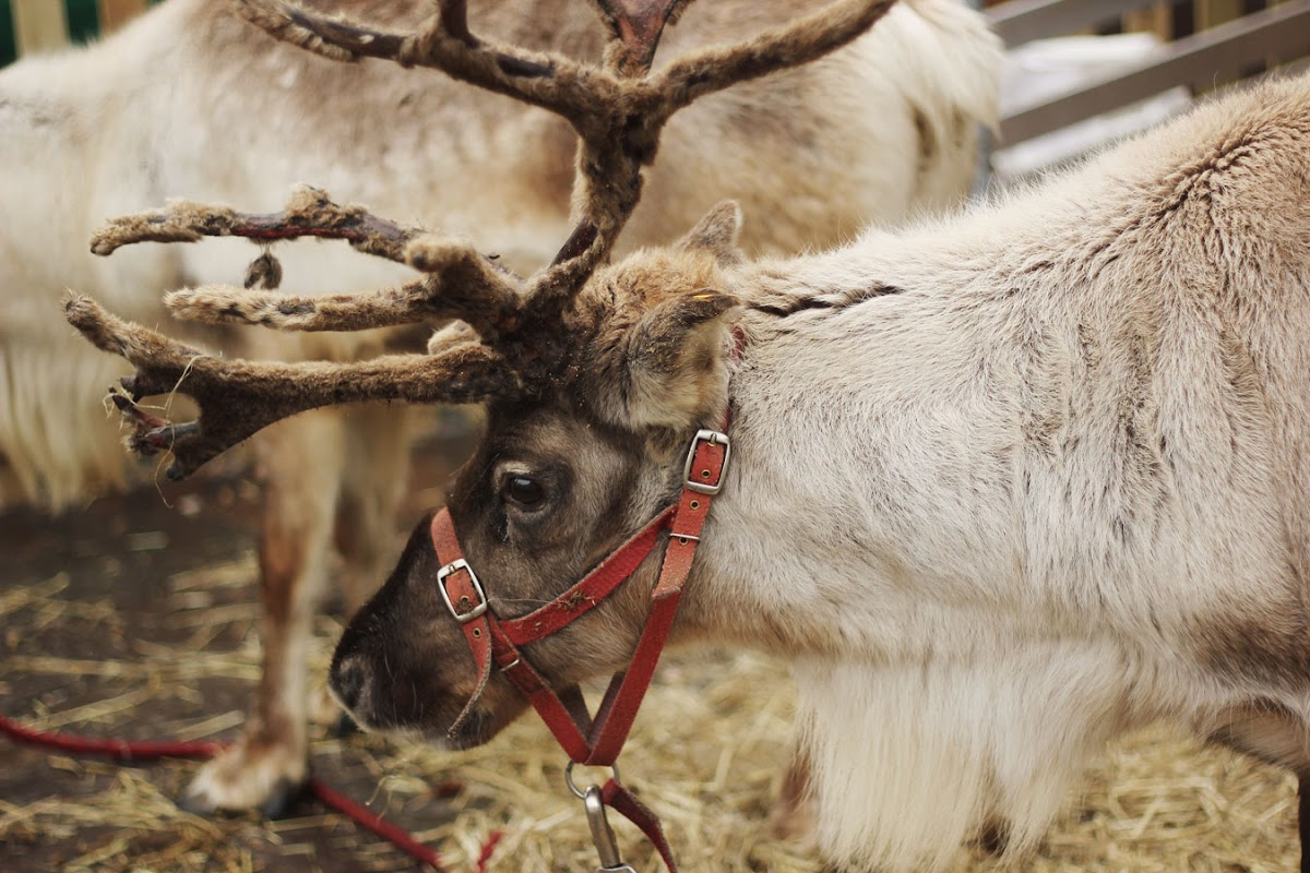 Reindeer, Christmas in Newbury