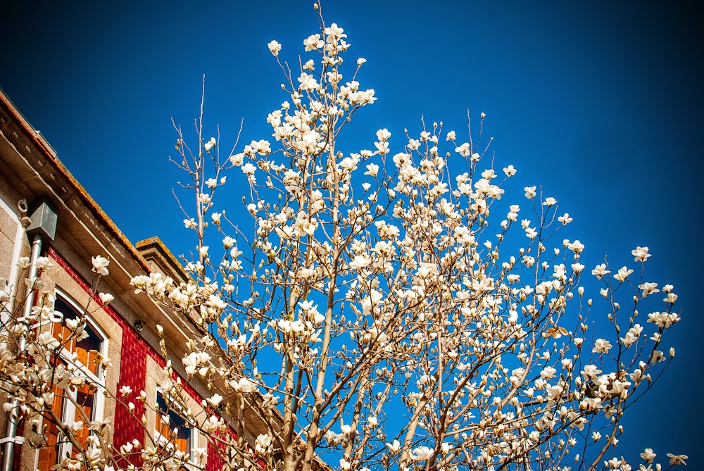 White flower trees in porto