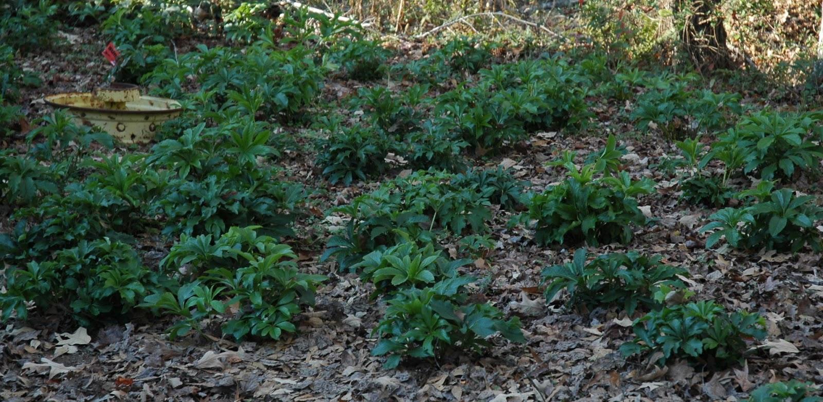 Lenten Rose Summer Ground Cover And The Lenten Rose