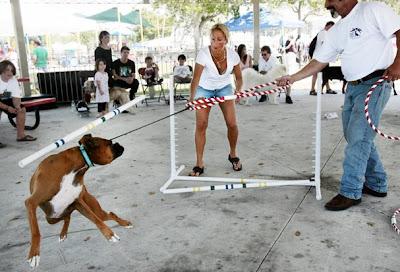 boxer-dog-training-school