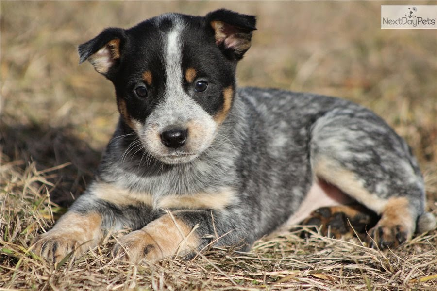 Rules of the Jungle: Blue Heeler Puppies
