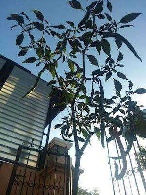 tanaman cabe sehat tanpa hama