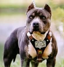 foto anjing pitbull