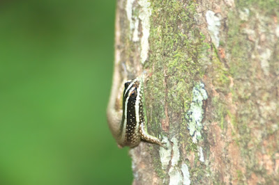 Striped Tree Skink (Apterygodon vittatus)