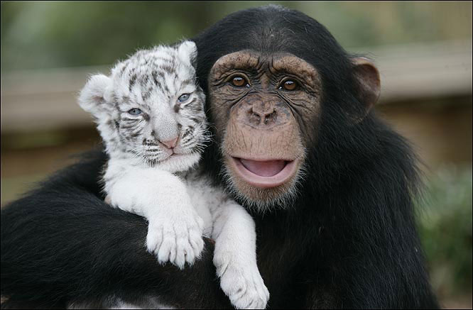 a happy chimpanzee hugs a cute baby white tiger