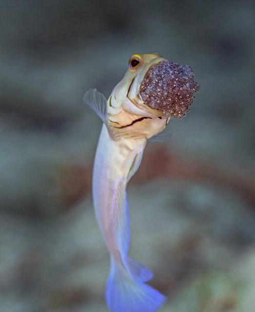 سمكة الرأس الاصفر 4xmoV