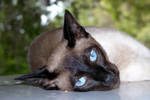 Adult Siamese Cats wallpapers
