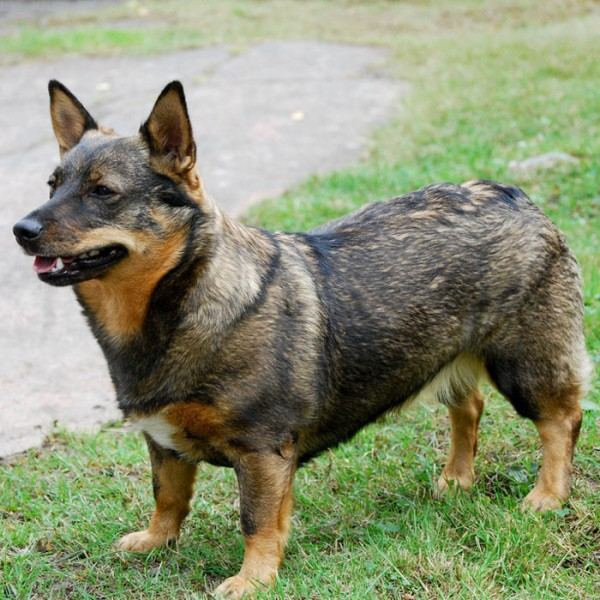 All Dog Breeds And Crossbreeds With Pictures