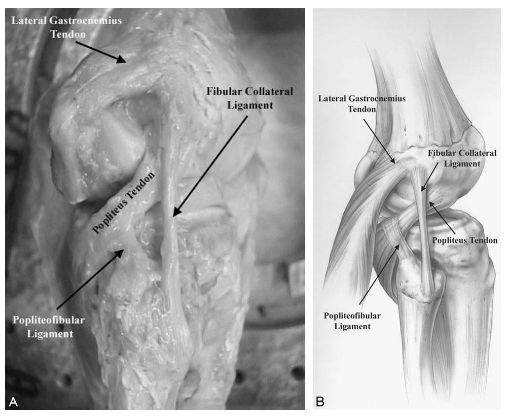 Popliteus Muscle/Popliteus Complex | Medical anatomical knowledge center