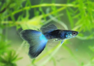 Blue Diamond Guppy Fish
