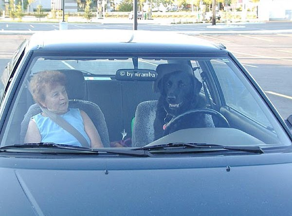 funny dogs, funny dog pictures, dog driving car, dog pictures, awesome dog drives car, cool dogs drive cars