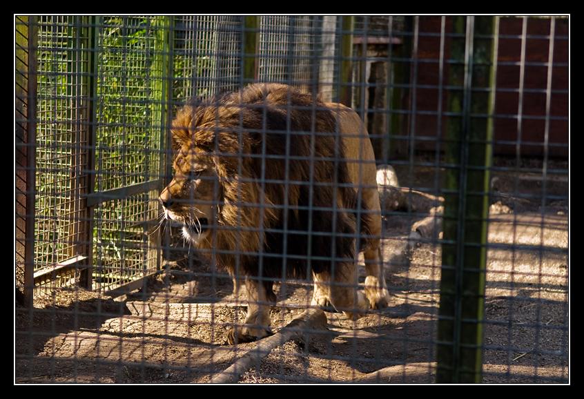 http://4.bp.blogspot.com/-3AEjtMv6o8I/TZpoxApAYvI/AAAAAAAACTY/J_IlMZT9XKc/s1600/Lion.jpg