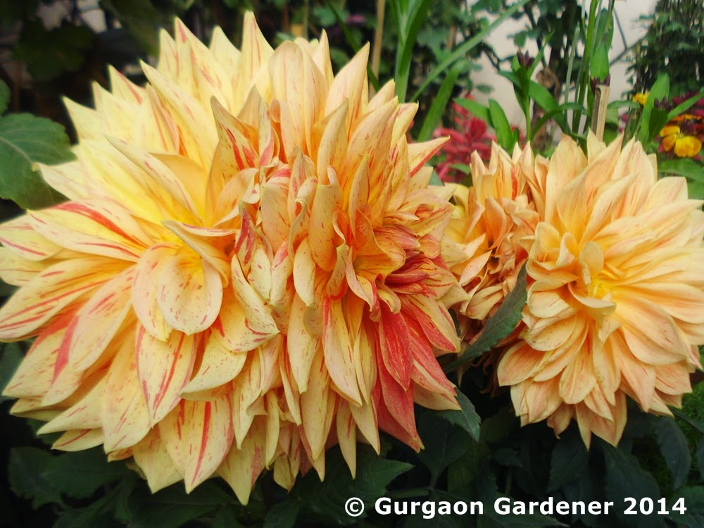 Gurgaon gardener dahlia dahlias for Soil gurgaon