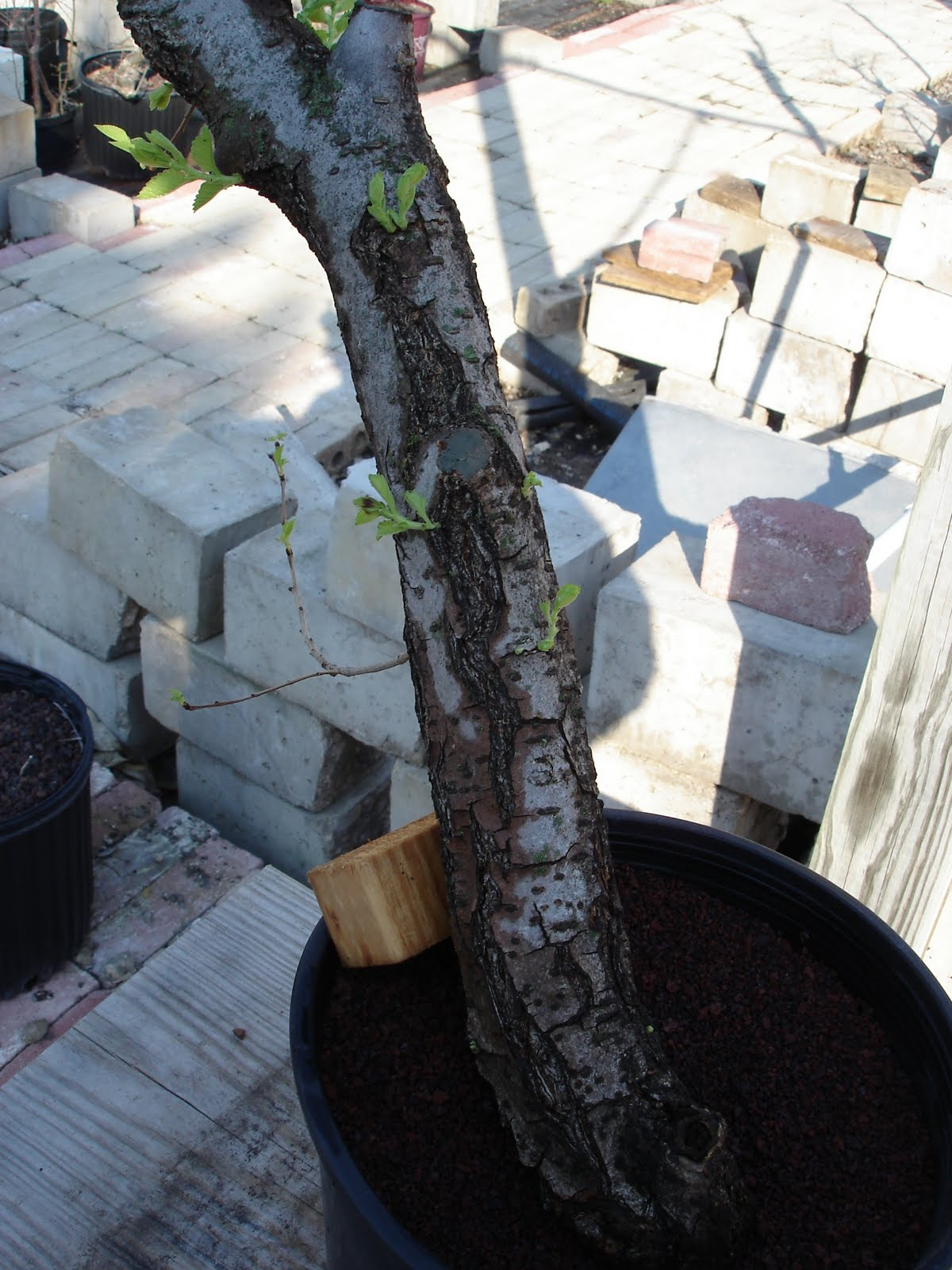 Bent Tree Bonsai Repotting A Collected Elm Tree