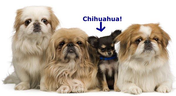 Yorkshire Terrier And Pekingese Dog Bullcatdog