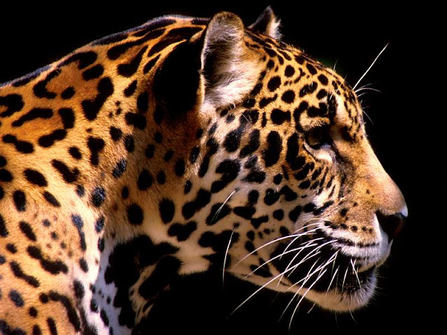 leopard_wallpaper_hd_tapandaola111
