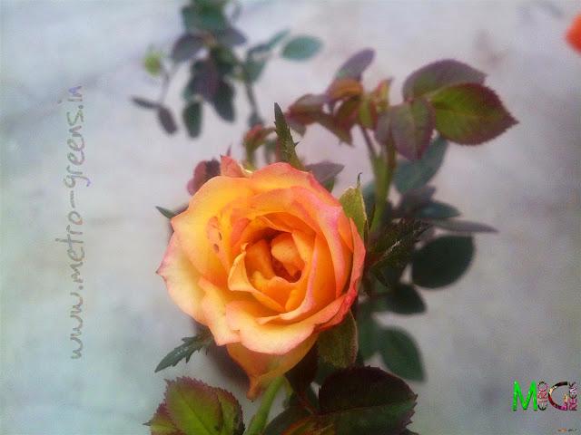 Metro Greens: Miniature Roses-Orange