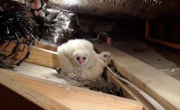 Wildlife Emergency Services Blog Barn Owl Relocation
