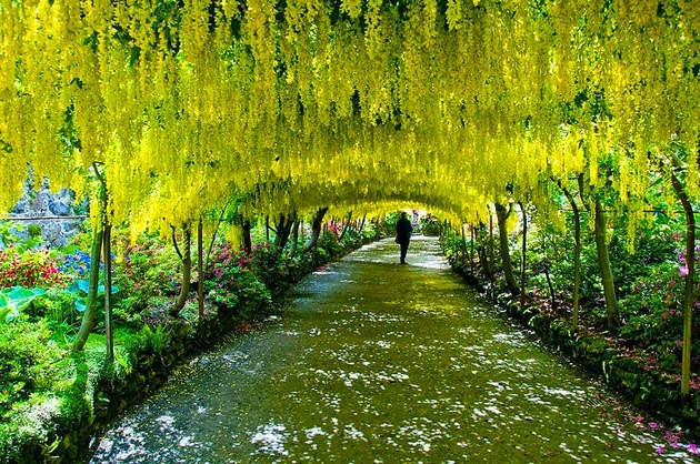 Laburnum Tunnel in Bodnant Gardens, UK