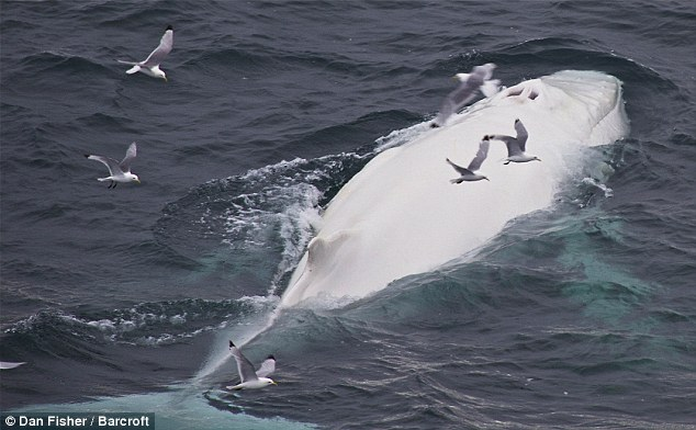 The real-life Moby Dick: Incredibly rare WHITE humpback whale spotted off coast of Norway