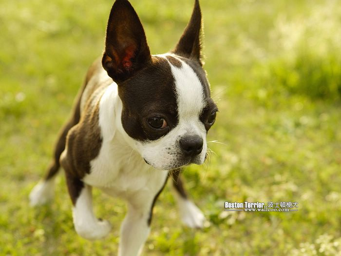 the dog in world boston terrier dogs