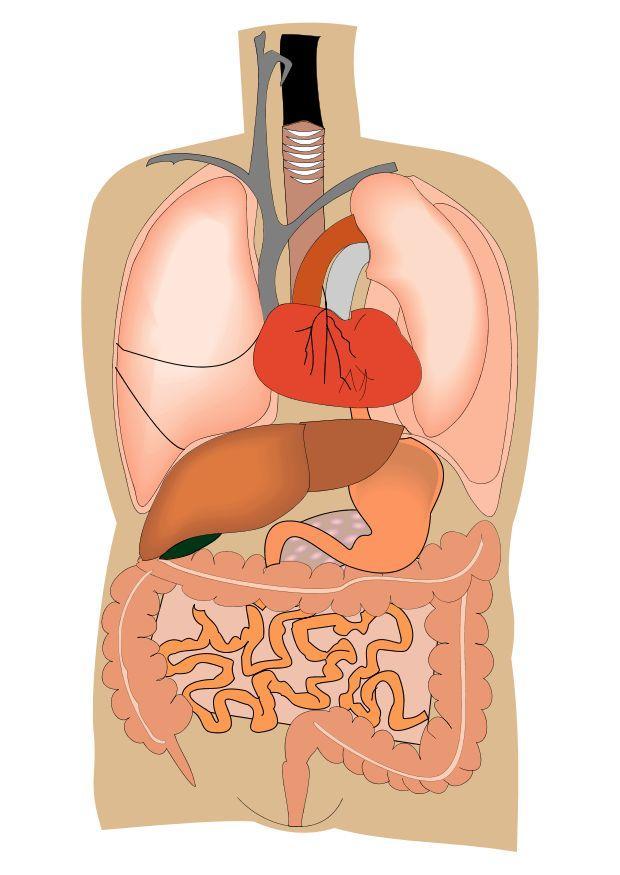 Educación Física en la Red: Órganos internos del cuerpo humano