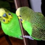 7 Signs Parakeet Birds are Sick - Tips to Maintain Parakeets