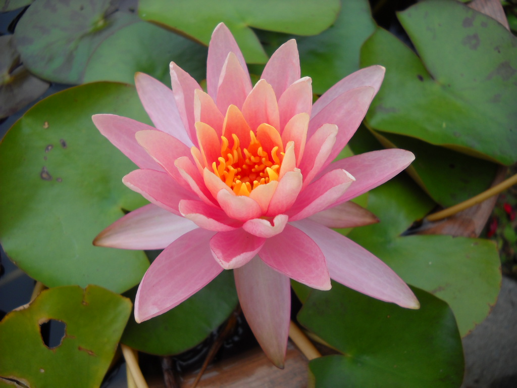 Daily Glimpses Of Japan Water Lily And Lotus Photos And Haiku