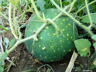 Καρπούζι σπορά φύτεμα καλλιέργεια