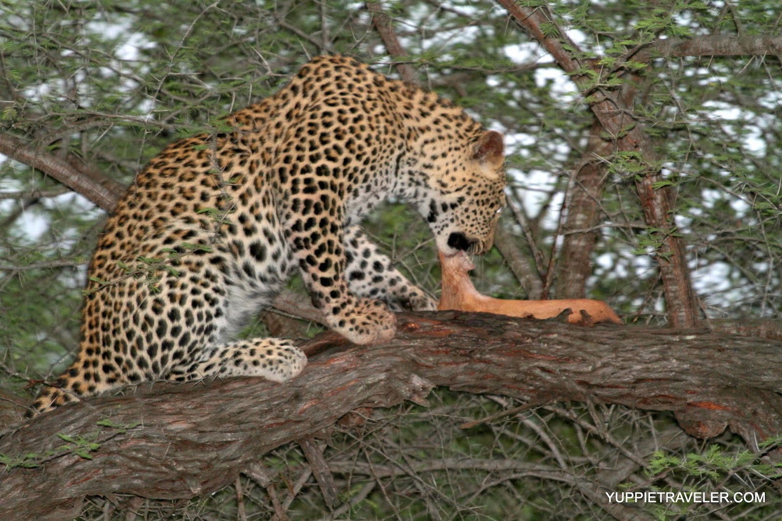 Leopards eating - photo#23