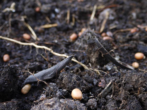 Fava beans and shells being planted