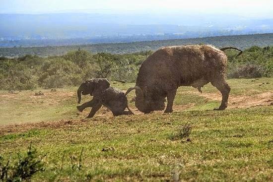 Kerbau Ini Menghajar Gajah Tanpa Rasa Takut