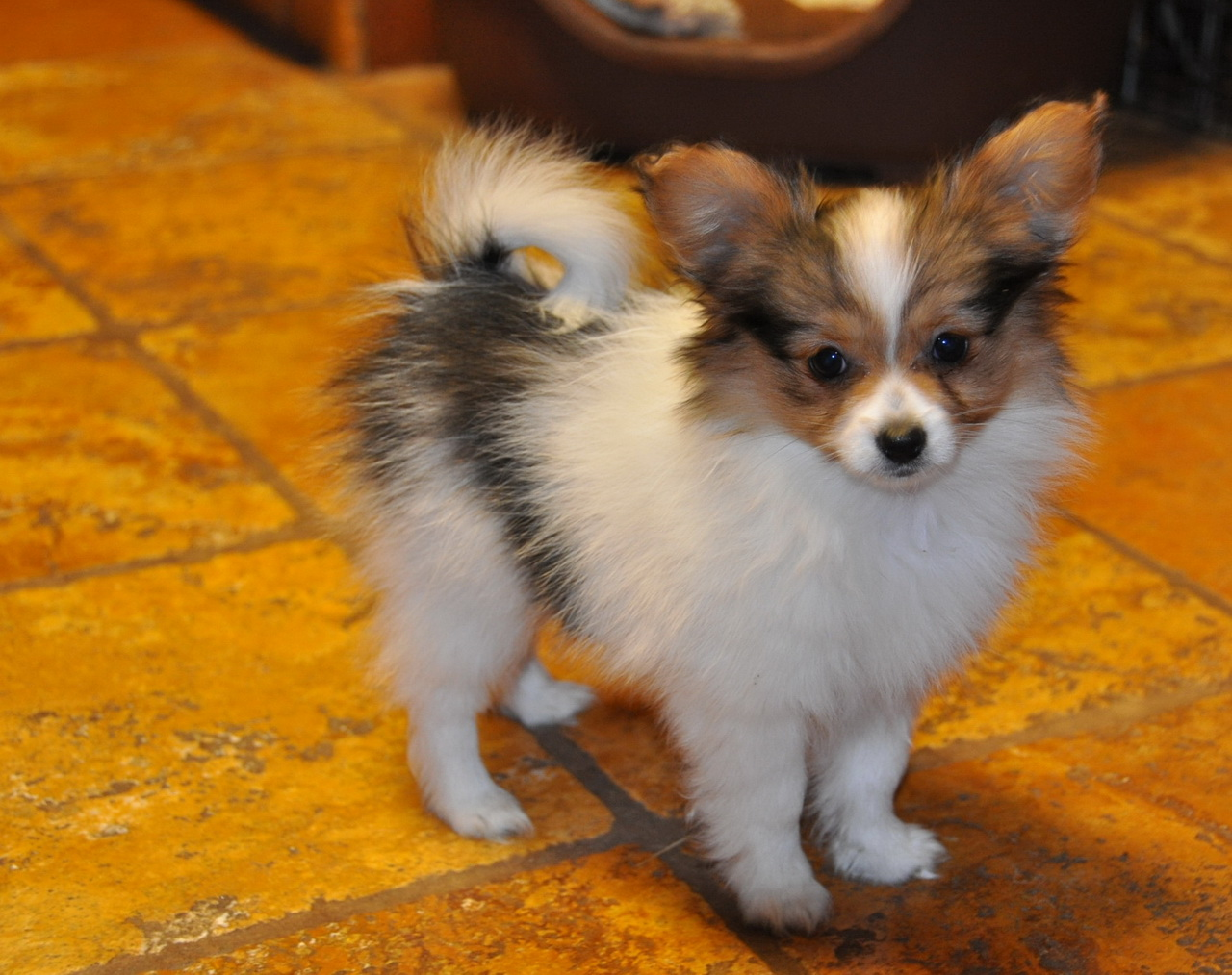 Road39;s End Papillons : 10 Week old Papillon Puppy