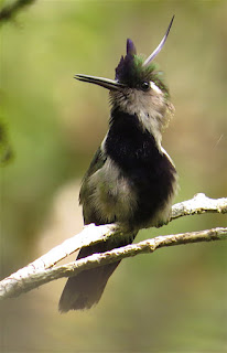 Violet-crowned Plovercrest