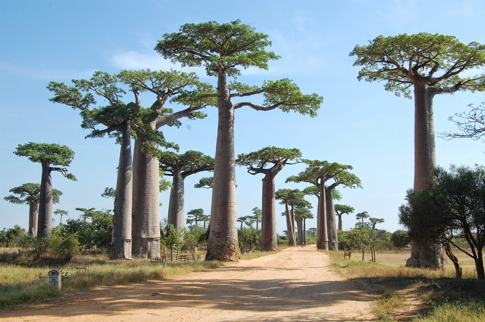 Big Trees in Forest of Africa