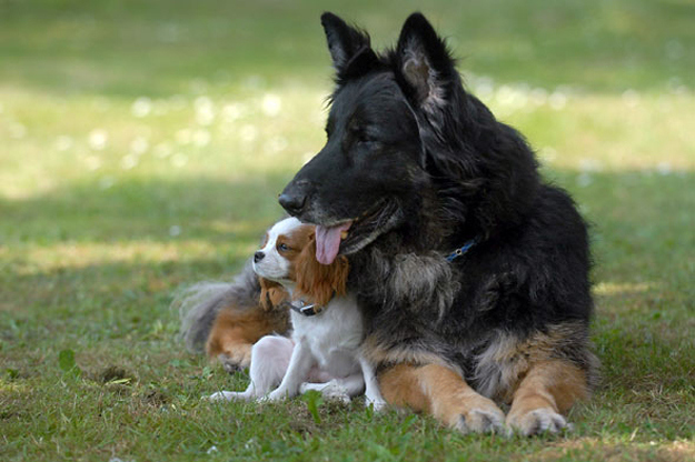 The German Shepherd who has become a seeing eye dog for a blind spaniel.